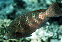 Scarus fuscopurpureus, Purple-brown parrotfish: fisheries