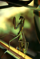 Sphodromantis viridis - Praying Mantis