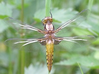 Libellula depressa - Broad-Bodied Chaser