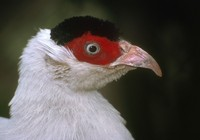 Crossoptilon crossoptilon - White Eared-Pheasant