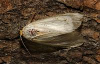 Image of: Noctuidae (cutworms, dagger moths, noctuid moths, owlet moths, and underwings)
