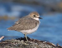 Greater Sand-Plover (Charadrius leschenaultii) photo