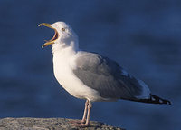 American Herring Gull (Larus argentatus) photo