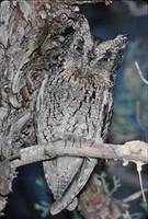 Whiskered Screech-Owl (Otus trichopsis) photo