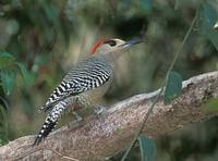 West Indian Woodpecker (Melanerpes superciliaris) photo