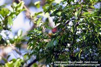 Little Green-Pigeon - Treron olax