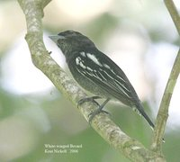 White-winged Becard - Pachyramphus polychopterus