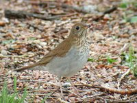 Veery - Catharus fuscescens