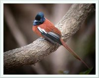 Black-headed Paradise-Flycatcher - Terpsiphone rufiventer