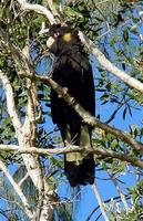 ...Yellow-tailed Black Cockatoo, Calyptorhynchus funereus, Coolum, Queensland, July 2004. Photo © B