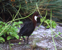 : Dryolimnas cuvieri; White-throated Rail