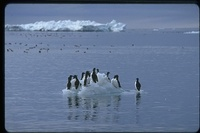 : Uria lomvia; Thick Billed Murres