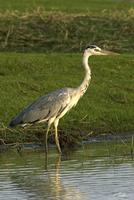 Ardea cinerea   Grey Heron photo