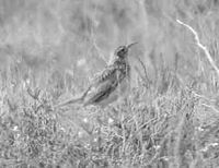 The Dupont's lark is a rare and specialized steppe passerine.