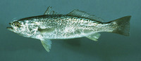 Cynoscion regalis, Gray weakfish: fisheries, gamefish, aquarium