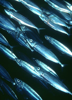 Decapterus macarellus, Mackerel scad: fisheries, gamefish, bait