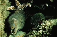 Gymnothorax mordax, California moray: fisheries, aquarium