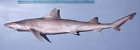 Hemigaleus microstoma, Sicklefin weasel shark: fisheries