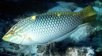 Halichoeres hortulanus, Checkerboard wrasse: fisheries, aquarium