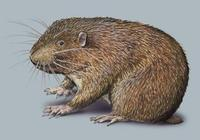 Image of: Aplodontia rufa (mountain beaver)