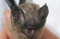 Image of: Hipposideros pygmaeus (Philippine pygmy roundleaf bat)