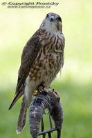 Falco columbarius - Merlin