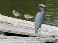 Image of: Arenaria interpres (ruddy turnstone), Egretta caerulea (little blue heron)