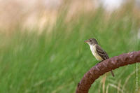 Image of: Empidonax traillii (willow flycatcher)