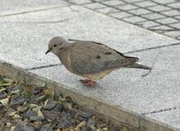 Image of: Zenaida auriculata (eared dove)