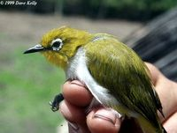 Pale-bellied White-eye - Zosterops consobrinorum