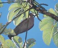 Short-billed Pigeon (Columba nigrirostris) photo