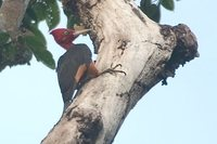 Red-necked Woodpecker - Campephilus rubricollis