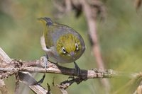 Silver-eye - Zosterops lateralis