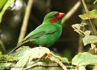Grass-green Tanager - Chlorornis riefferii