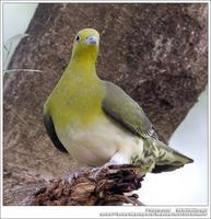 White-Bellied Green Pigeon 紅翅綠鳩 IMG 2796.jpg