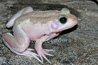 : Rana clamitans; Green Frog, Bronze Frog
