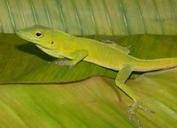 : Anolis garmani; Jamaican Giant Anole