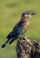 Coracias benghalensis  Indian Roller photo