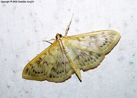 Pleuroptya ruralis - Mother of Pearl