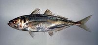 Trachurus japonicus, Japanese jack mackerel: fisheries, aquaculture