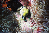 Gymnothorax fimbriatus, Fimbriated moray: fisheries