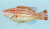 Bodianus leucosticticus, Lined hogfish: fisheries