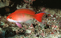 Pseudanthias cooperi, Red-bar anthias: aquarium
