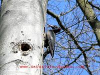 Dryocopus martius - Black Woodpecker