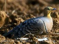 Chestnut-bellied Sandgrouse - Pterocles exustus