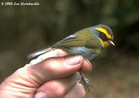 Black-faced Warbler - Abroscopus schisticeps
