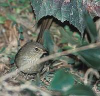 Madagascar Brush-Warbler (Nesillas typica) photo