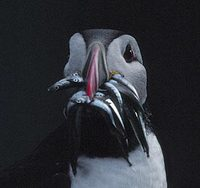 Atlantic Puffin (Fratercula arctica) photo
