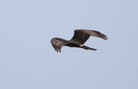 Long-winged Harrier (Circus buffoni) photo