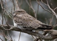 Sand-colored Nighthawk - Chordeiles rupestris